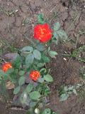 Flor hermosa de Rose con color dual fotos de archivo