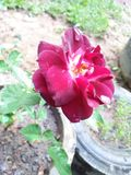 flor hermosa de Rose en Sri Lanka fotografía de archivo