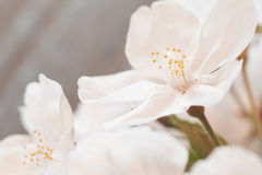 Flor hermosa de Sakura de la flor de cerezo Fotografía de archivo