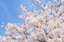 Flor hermosa de Sakura de la flor de cerezo Fotos de archivo libres de regalías