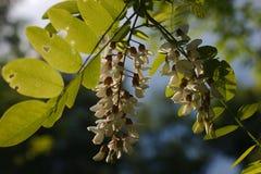 Flor hermosa del acacia en luz de la puesta del sol foto de archivo libre de regalías