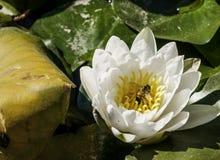 Flor hermosa del agua Fotos de archivo libres de regalías