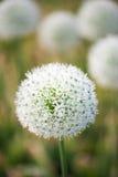 Flor hermosa del allium blanco Fotografía de archivo