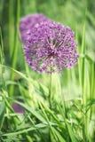 Flor hermosa del allium púrpura Foto de archivo