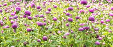 Flor hermosa del amaranto de globo Fotos de archivo libres de regalías