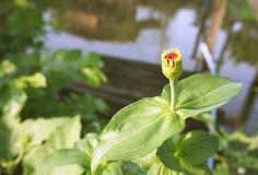 Flor hermosa del amaranto de globo en el jardín Imagen de archivo libre de regalías