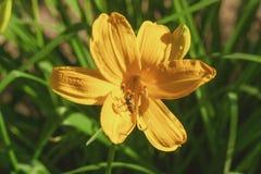 Flor hermosa del amarillo del lirio Imagen de archivo libre de regalías