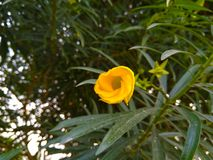 Flor hermosa del amarillo del thevetia de Cascabela Fotos de archivo
