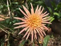 Flor hermosa del barbandasia del jardín de corte fotos de archivo libres de regalías