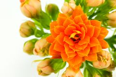 Flor hermosa del blossfeldiana del kalanchoe aislada fotografía de archivo