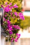 Flor hermosa del bougainvillea fotografía de archivo libre de regalías