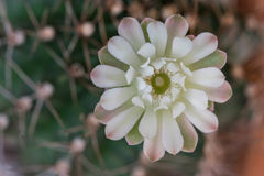 Flor hermosa del cactus Imagen de archivo libre de regalías