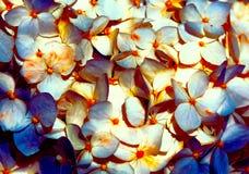 Flor hermosa del color Blua y tono blanco Fotos de archivo libres de regalías