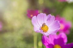 Flor hermosa del cosmos sobre fondo borroso del jardín Fotografía de archivo libre de regalías