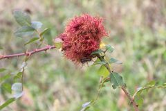 Flor hermosa del diente de león abierta en la primavera foto de archivo