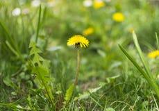Flor hermosa del diente de león en prado verde en primavera Imagen de archivo libre de regalías