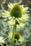 Flor hermosa del echinacea Foto de archivo