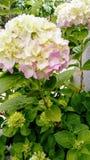 Flor hermosa del florecimiento en la plena floración Imagen de archivo