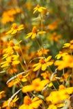 Flor hermosa del gerbera Imagen de archivo