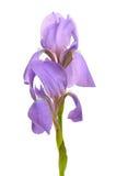 Flor hermosa del indicador azul (diafragma) Imágenes de archivo libres de regalías