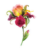 Flor hermosa del iris de la acuarela Fotografía de archivo libre de regalías