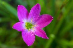 Flor hermosa del lirio fotografía de archivo libre de regalías