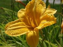 Flor hermosa del lirio Fotografía de archivo