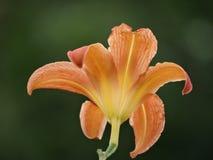 Flor hermosa del lirio Imágenes de archivo libres de regalías