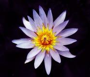 Flor hermosa del lirio de agua fotografía de archivo libre de regalías
