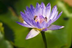 Flor hermosa del lirio de agua que florece con las abejas Foto de archivo
