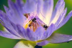Flor hermosa del lirio de agua que florece con las abejas Fotos de archivo