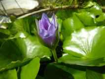 Flor hermosa del lirio de la foto natural fotos de archivo