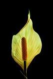 Flor hermosa del lirio de paz Fotos de archivo