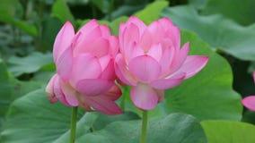 Flor hermosa del lotu de los gemelos almacen de video
