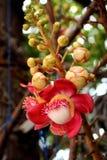Flor hermosa del obús Fotografía de archivo