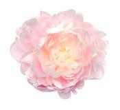 Flor hermosa del peony Imagen de archivo libre de regalías
