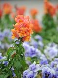 Flor del majus del Antirrhinum (snapdragon) fotos de archivo