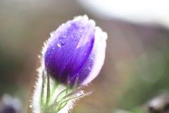 Flor hermosa del snowdrop en descensos Fotos de archivo libres de regalías