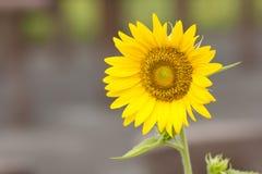 Flor hermosa del sol Foto de archivo