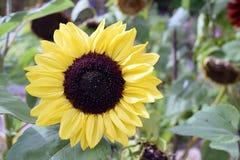 Flor hermosa del sol Imágenes de archivo libres de regalías