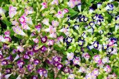 Flor hermosa del torenia Fotos de archivo