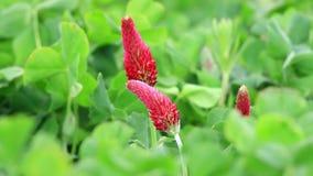 Flor hermosa del trébol carmesí almacen de video