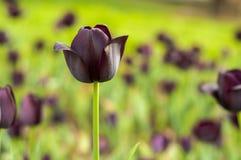 Flor hermosa del tulipán Imágenes de archivo libres de regalías