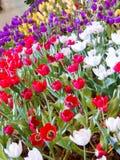 Flor hermosa del tulipán Fotos de archivo libres de regalías