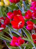 Flor hermosa del tulipán Imagen de archivo