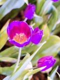 Flor hermosa del tulipán Fotografía de archivo libre de regalías