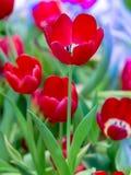 Flor hermosa del tulipán Foto de archivo
