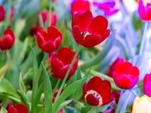 Flor hermosa del tulipán Foto de archivo libre de regalías