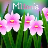 Flor hermosa, ejemplo del Miltonia de la orquídea con las hojas verdes Fotos de archivo