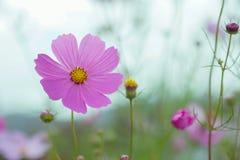 Flor hermosa en el jardín con luz del sol, fondo de la naturaleza y colorido con el área vacía para el texto, crecimiento de flor Imagen de archivo